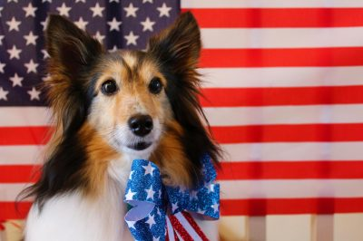 Sheltie with American flag