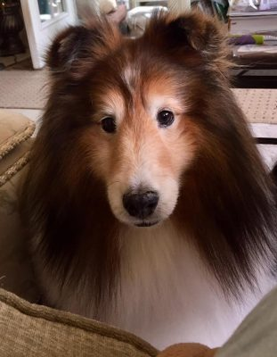 Sheltie asking for dinner