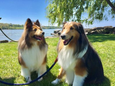 Shelties in park