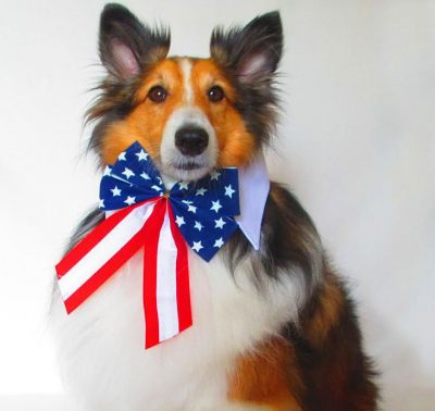 Sheltie and american flag bow