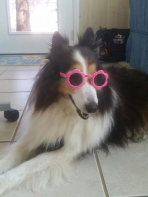 Sheltie in sunglasses