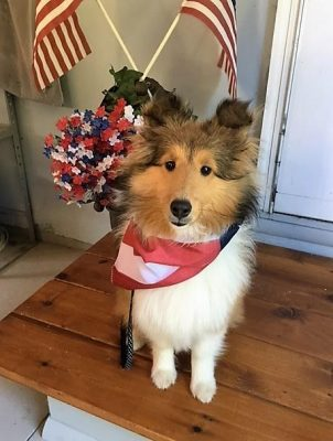 Sheltie on 4th of July