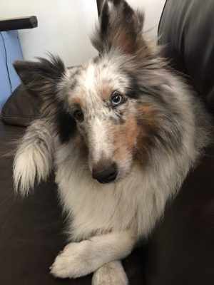 Sheltie head tilt