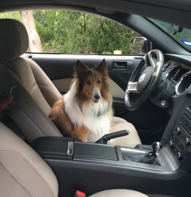 Sheltie in car front seat