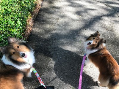 Shelties on walk
