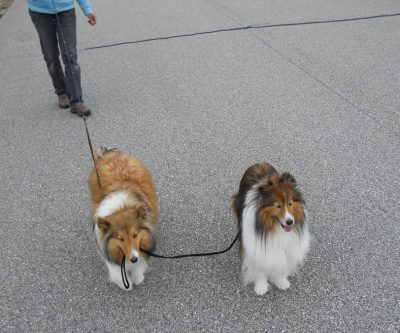 Sheltie walking a sheltie