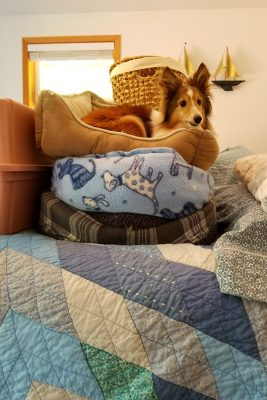 Sheltie in stack of beds