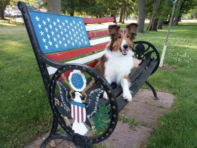 Sheltie on american bench