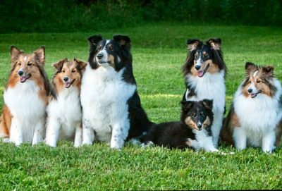 SIx Shelties