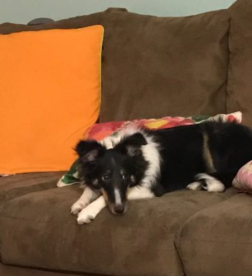 sheltie side eye