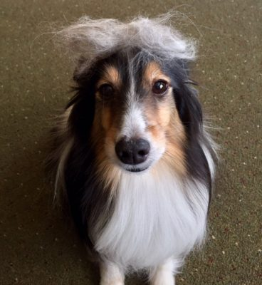 Sheltie wig
