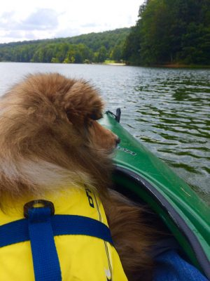 Sheltie on lake