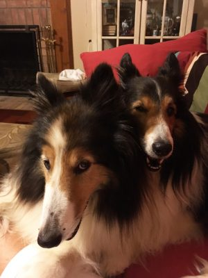 Shelties cuddling during thunderstorm