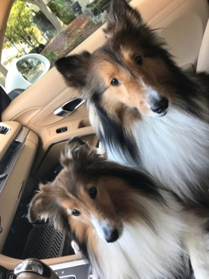 Shelties in car