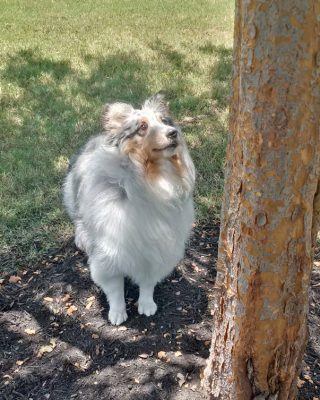 Sheltie looking up tree