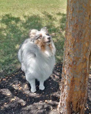 Sheltie looking up tree