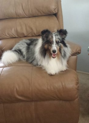 Sheltie in chair