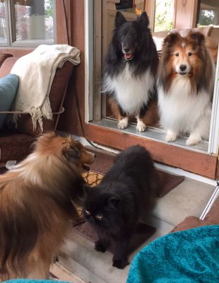 Sheltie in doorway