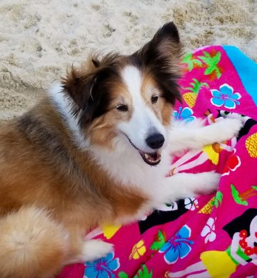 Sheltie at Jersey shore