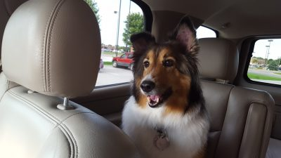 Sheltie in car