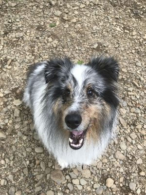Sheltie smiling