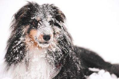 Sheltie wearing snow
