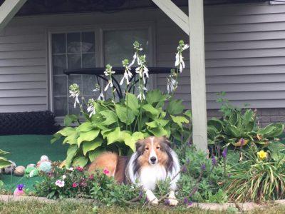 Sheltie sitting on flowers