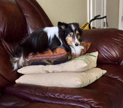 Sheltie on pillows