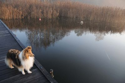 Sheltie on dock in autumn