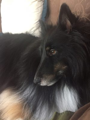 Sheltie thinking