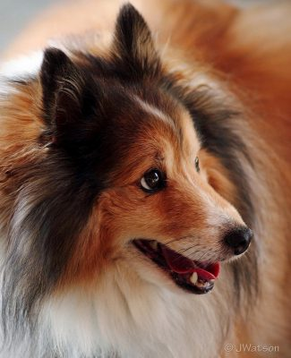 Sheltie side eyes