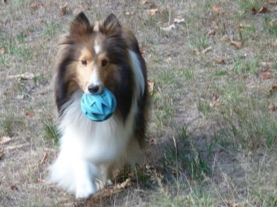 Sheltie carrying ball
