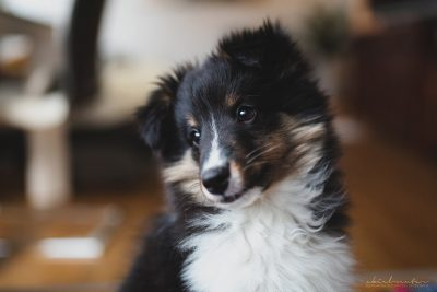 Sheltie puppy head tilt