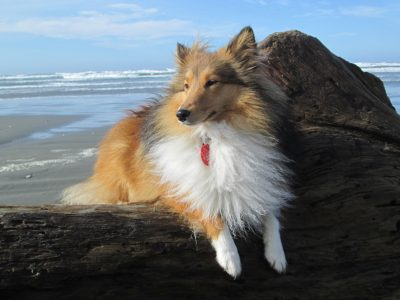 Sheltie on beach
