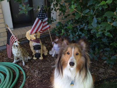 Sheltie and flag