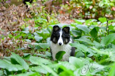 Sheltie in green garden