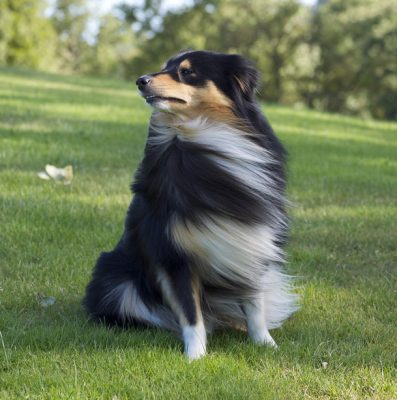 windy sheltie