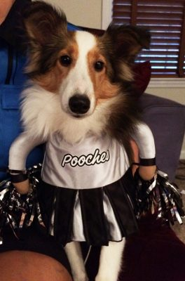 Sheltie in cheerleader costume