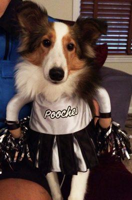 Sheltie in cheerleader costume