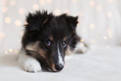 Sheltie puppy eyes