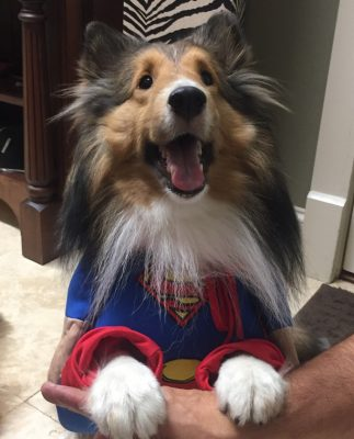 Sheltie in superman costume