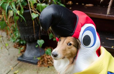 Sheltie in parot costume