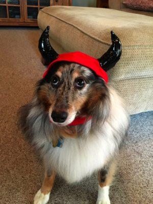 Sheltie in devil costume