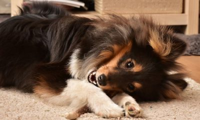 Sheltie chewing
