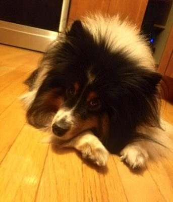 Sheltie begging