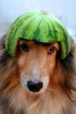 sheltie in fruit helmet
