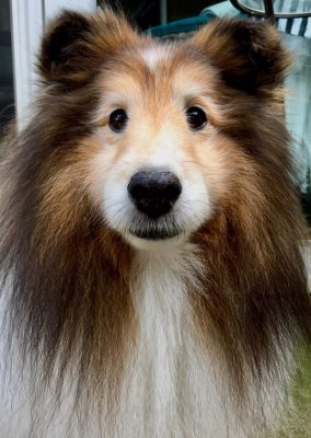Sheltie after bath