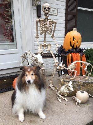 Sheltie and halloween decorations