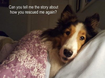Sheltie rescued