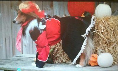 Sheltie in costume